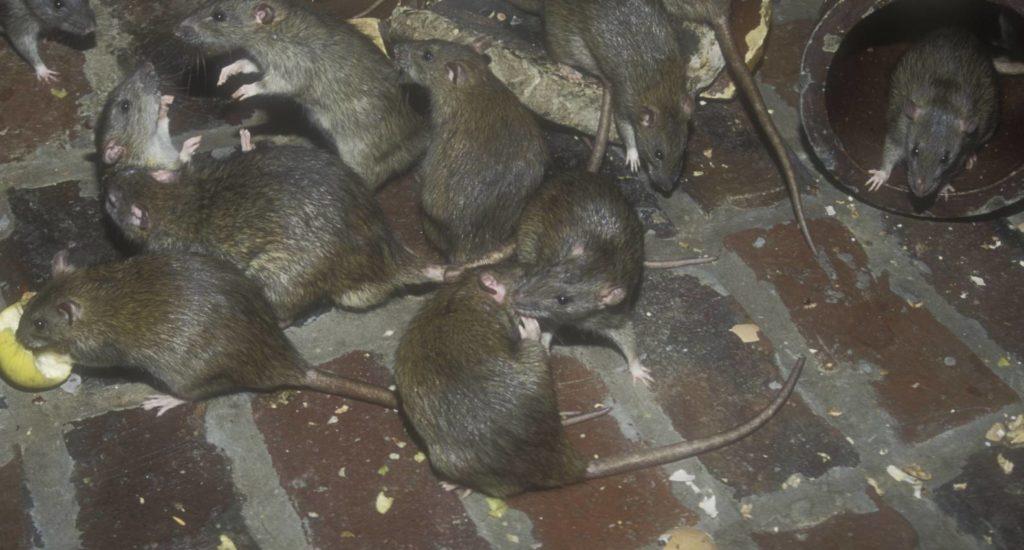 уничтожение крыс в Кирове